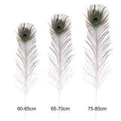 Einzelne Pfauenfedern 60-80cm - 5Stk